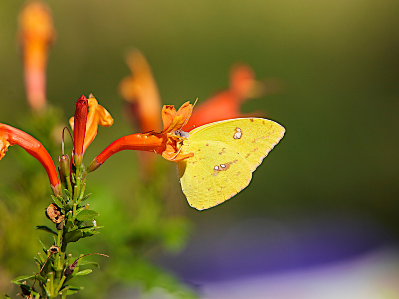 "November 2, 2012 ""Clouded Sulphur""  Usually a difficult capture but I had 6 of these beauties fluttering around my back yard so if one left another one dropped in on my flower of choice.<br /> I have a Corvette show this weekend,  and hope you have a great weekend,"