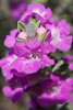 September 30, 2012   Texas Sage bloom  -  late post today,  our internet service was interrupted due to all of the rain yesterday.