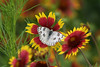 June 9, 2012 Checkered White on Indian Blanket.  Cropped, but otherwise SOOC -  Catch this species with its wings extended is unusual and it gives the viewer a chance to see the bluish gray body colors