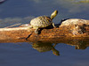 "December 20, 2012 ""Reflective Turtle""   Another shot captured on my trip to the pond on Tuesday - this was my top catch of the day. <br />  juvenile Pseudemys texana, a truly texan turtle<br /> <br /> Looks like our warm weather is taking off for a while.  I certainly enjoyed it while it was here."
