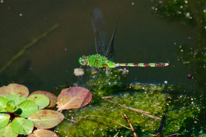 April 6, 2012 Pondhawk (female) Captured in flight as a raw photo and edited with L.R. (a story in-its self) to darken the water and brighten the reds. I find capturing dragonflies in flight easier then L.R.  I have several more raw shots to work with, maybe I will get better at it.<br /> BTW, notice the twisted rear wings which means she is hovering, making this an easier capture than it first appears.