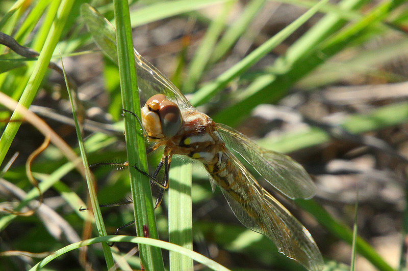 "April 22, 2012  ""Happy Face""  Last week when I was hunting dragonflies this species was everywhere, walking through tall grass (watching out for snakes of course)    Have a great week."