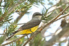 May 17, 2012 Western Kingbird - Captured in a tree outside my office. I had more then a little trouble adjusting the exposure as the lighting was very uneven.  This was the best shot of several attempts