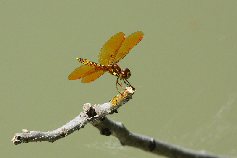 June 16, 2012  Eastern Amberwing - I have posted this species before but never one this sharp.  These dragonflies are small,  slightly larger then a wasp, I took this photo from app. 15 feet away.   Birthday party today, Allison turns 7.