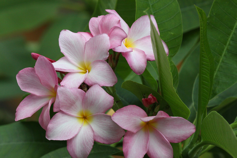 June 13, 2012 Pink Plumeria - one of three in my back yard - the other 2 are both yellow,   The weather is too cold here during the winter months so I have a small greenhouse to over winter them.  Its kind of like have a little Hawaii in Texas.