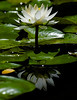 July 8, 2012  Water Lilly
