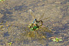September 26, 2012 Giant Green Darner,  the male is clasping the females head as she lays her eggs in a local pond. The wings are in motion and the pair took off as I was snapping this shot