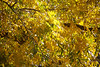 "December 3, 2012  ""Golden Glow""  Pecan Tree  - Taking the day off to continue working on my backyard project."