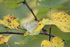 November 24, 2010  Female Clouded Sulphur roosting in a redbud tree - It looks like fall, not a good time for a butterfly,<br /> Thank you for all of the good wishes for our new grandson, papa