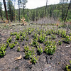 New growth already sprouting from a section of forest burned in the South Fork fire on June 22, 2010.                Luis Sanchez Saturno/ The New Mexican.