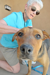 Sally Wilkins of the Los Alamos, New Mexico Friends of Shelter puts a tag around the neck of Osita a spayed one year-old male Heeler Shepard mix at the Santa Fe, New Mexico Animal Shelter on Tuesday June 28, 2011. Osita will be kept temporarily at the shelter along with several pets that have been relocated during the Las Conchas fire.  Clyde Mueller/The New Mexican