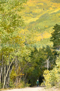 The coming of gold to quaking aspen leaves signal autumn at the Santa Fe National Forest areas by Aspen Vista and the Santa Fe Ski Basin. The timing of the gold change is of interest to scientists studying climate change. They're calling for help from ordinary citizens to record observations of aspens and 299 other plant and animal species through the USA National Phenology Network. Clyde Mueller/The New Mexican