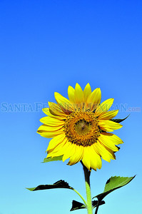 A sunflower growing in Santa Fe.  Clyde Mueller/The New Mexican