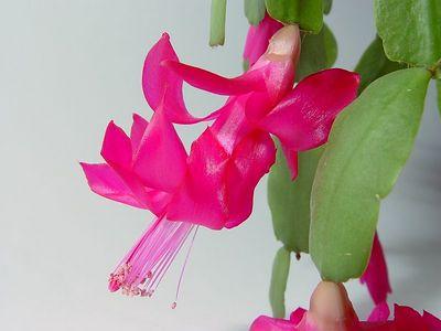 2005-03-05_04239 Kaktusblüte im mobilen Studio