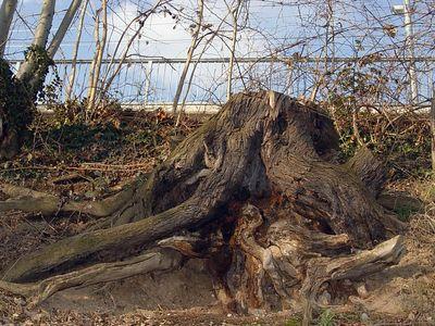 2005-03-19_04416 Baumstumpf am Bahndamm