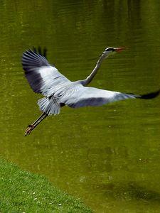 2005-04-23_04682 Graureiher im Abflug! (I join the egret fest)