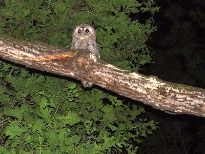 2005-05-19_04906 Im Stockdunkeln hörte ich nur ein seltsames Geräusch im Wald. Blitz, Kopflampe und Taschenlampe brachten Licht ins Dunkel: Eine Eule, die sich nicht von meiner Flutlichtbeleuchtung verschrecken ließ. (voller Zoom~190mm, ISO400, 1/30s + Freihand mit nur einer Hand) - hier klicken um den TON-Clip anzuhören
