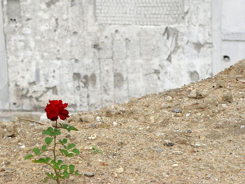 2005-07-07_05496 a rose in a concrete world (erspäht durch Lisas Adlerauge
