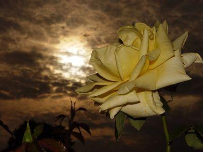 2005-07-03_05464 Gelbe Rose