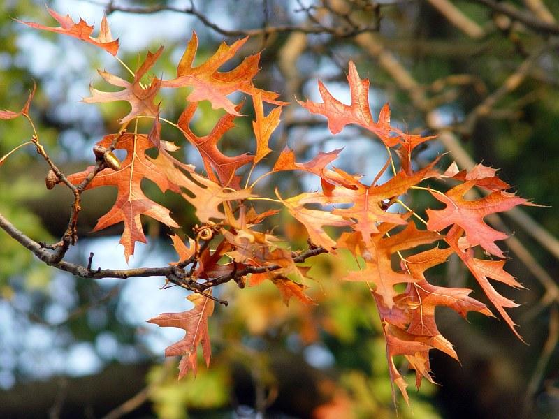 2005-10-15_06818 Es war gar nicht so leicht so auf die schnelle vorm Sonnenuntergang ein paar rote Eichenblätter zu finden, aber ich habs geschafft!It wasn't easy to find some red oak leaves just short before sun set, but I did it!