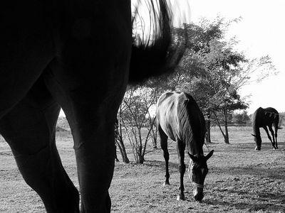 2005-10-04_06668 Pferde - Grasen mit RangfolgeHorses grazing in order