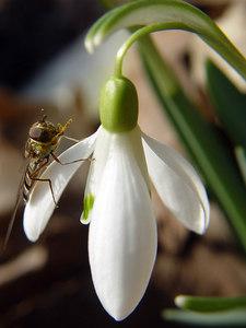2006-03-22_09109 Winter ade - ein nicht so typisches Schneeglöckchenfoto. Farewell winter - a non typical snowdrop photo-