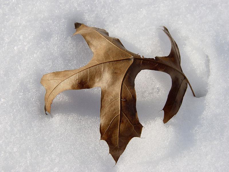 2006-03-14_08908 Eichenblatt vom letzten Jahr auf frischem Schnee - durch die viele Sonne brennt sich das Blatt langsam in den Schnee ein. Oak leaf from the last year on fresh snow - due to the sunny day the leaf burns itself into the snow.