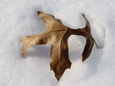 2006-03-14_08908 Eichenblatt vom letzten Jahr auf frischem Schnee - durch die viele Sonne brennt sich das Blatt langsam in den Schnee ein. Oak leaf from the last year on fresh snow - due to the sunny day the leaf burns itself into the snow.