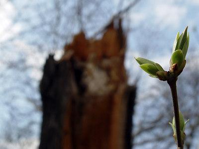 2006-04-04_09282 alter Baumstamm, der bei einem Sturm im letzten Jahr umgestürzt wurde, und der neue Spross old tree trunk broken off in a storm last year and the new offspring