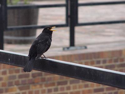 2006-04-23_09522 singende Amsel an der Moritzbastei singing blackbird at the Moritzbastei