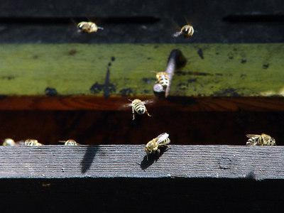 2006-05-04_09634 busy bees in the honeycomb at the Fockeberg geschäftiges Treiben im Bienenhaus beim Fockeberg abejas activas en el colmenar en el Fockeberg