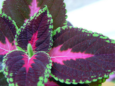 2006-06-23_10186 colorful plant farbenfrohe Pflanze planta variopinta