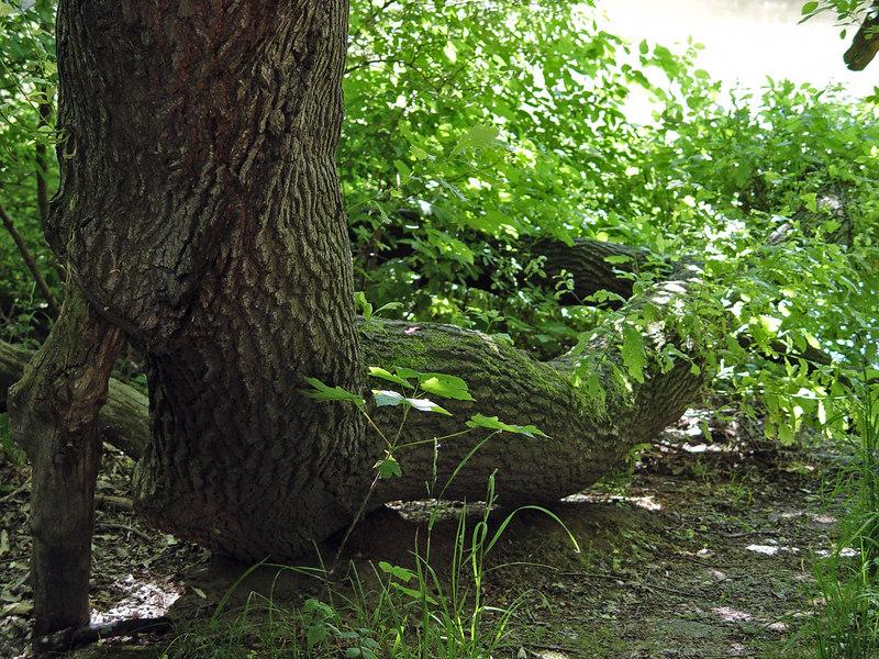 2006-06-13_10074 Snake alike tree - it also winds on the ground, but at a dead-slow pace. Schlangenähnlicher Baum - der Stamm schlängelt sich auch am Boden entlang, nur mit ganz langsamer Geschwindigkeit. Un árbol que es semejante una celubra: serpentea a la tierra, pero es muy despacio.
