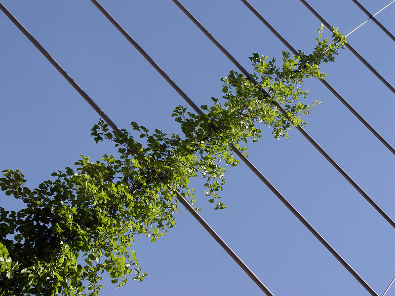 2006-06-12_10062 diagonal cirrus diagonales Ranke zarcillo diagonal