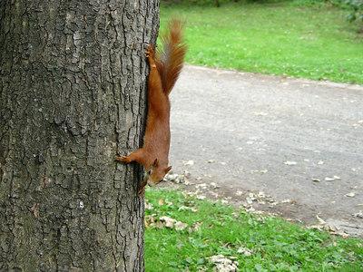 2006-06-29_10280 Squirrel upside down Eichhörnchen kopfüber Ardilla colgado de cabeza