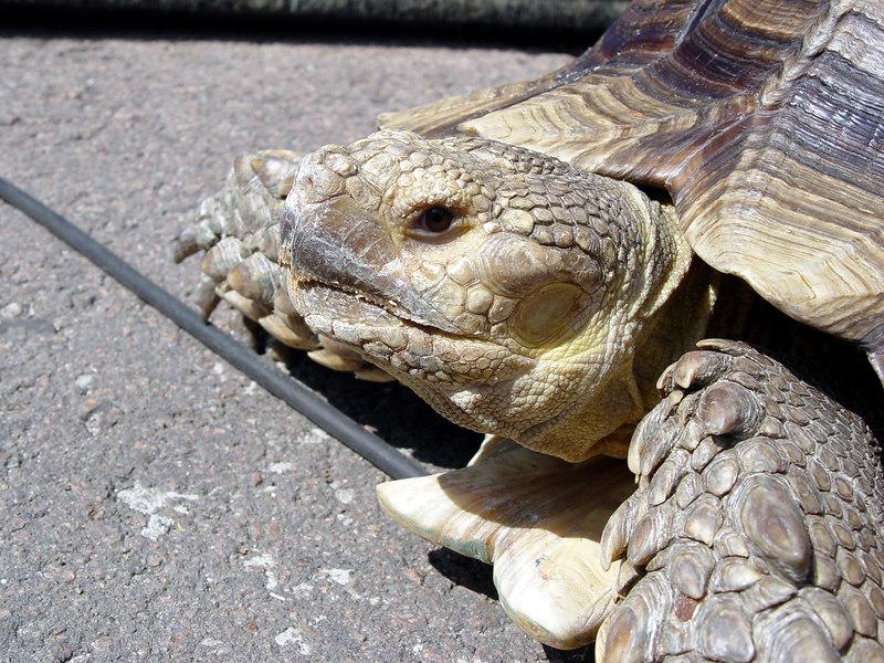 2006-08-12_10957 Spike the young giant tortoise Spike, die junge Riesenschildkröte Spike la tortuga gigantesca