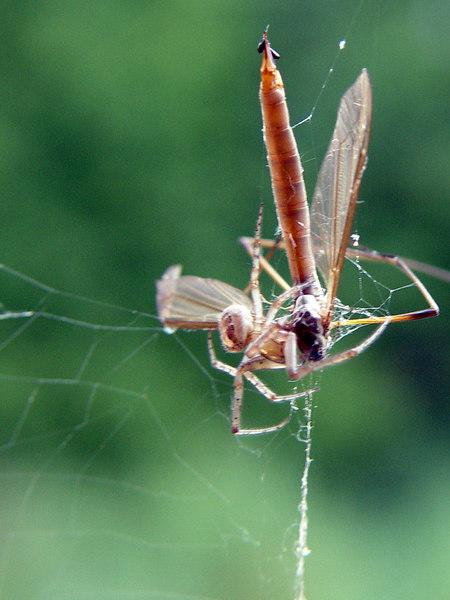 2006-09-03_11109 spider meal Spinnenmahl la cena de la araña