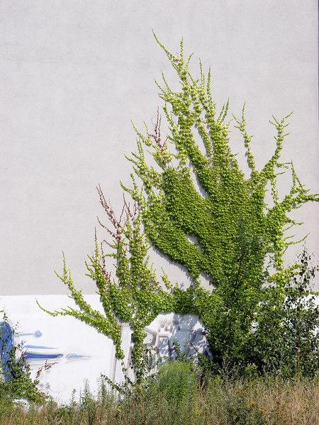 2006-07-25_10768 Tree on the Wall Wandbaum Árbol en el Muro