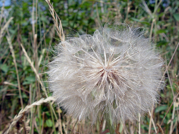 """2006-07-01_10404 <span class=""""eng2""""><p>In Wittenberg I also saw some monster dandelions! See also <a href=""""http://sayntbrigid.smugmug.com/gallery/1516227/1/76913719/Large"""">Brigs shot</a>, who discovered them. </p></span><span class=""""ger""""><p>In Wittenberg habe ich auch riesige Löwenzahn gesehen! <a href=""""http://sayntbrigid.smugmug.com/gallery/1516227/1/76913719/Large"""">Brig</a> hat sie quasi entdeckt. </p></span><span class=""""esp""""><p>Hoy he vista unos dientes de león enormemente! Mira <a href=""""http://sayntbrigid.smugmug.com/gallery/1516227/1/76913719/Large"""">al foto de Brig</a>, que les descubrió </p></span>"""