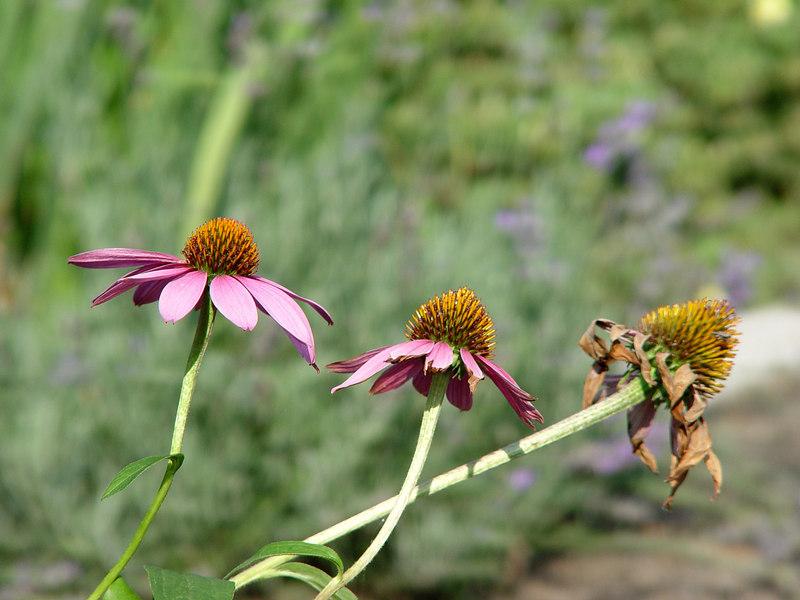 2006-07-29_10795 Ageing of a Flower Altern einer Blume Envejecer de una Flora
