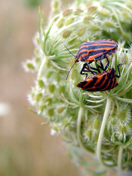 2006-07-30_10806 Shameless Bugs Schamlose Käfer Escarabajos Inmodestos