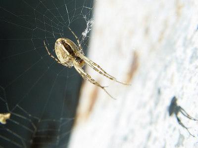 2006-09-23_11211 Spider sliding down her net eine Spinne rutscht ihr Netz herunter una araña se desliza abajo en su telaraña