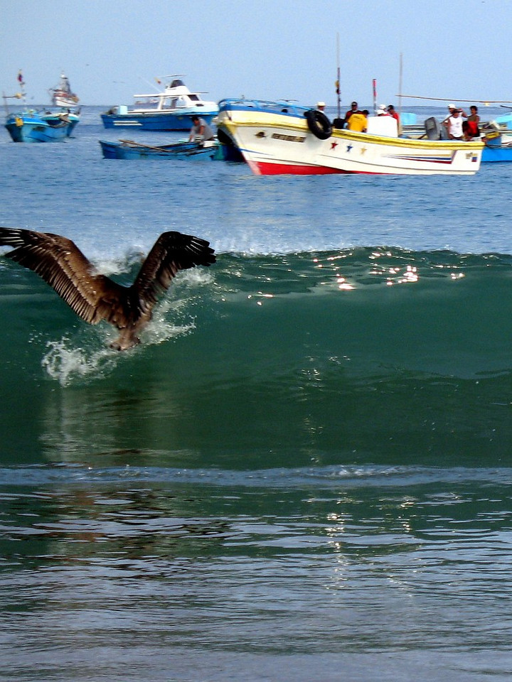 2006-12-23_12329 wave-hoping pelican  wellenreitender Pelikan El pelícano da un salto sobre la ola