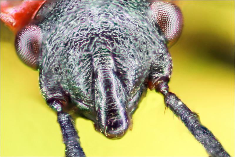 Pyrrhocoris apterus    -  3