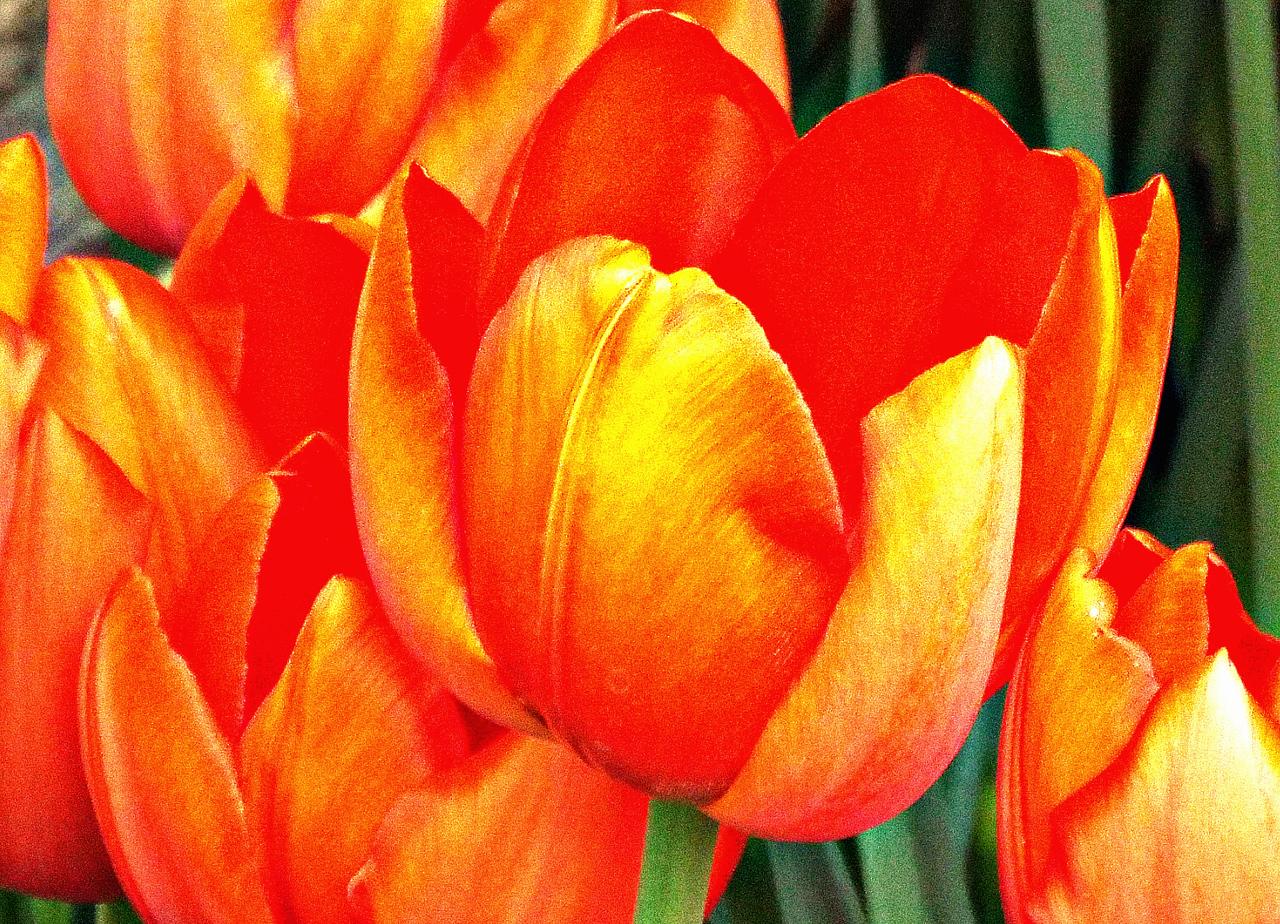 TA DA  ORANGE TULIPS FROM THE FLOWER SHOW.  'WIZARD OF OZ ' WAS THE THEME.  15/03/16