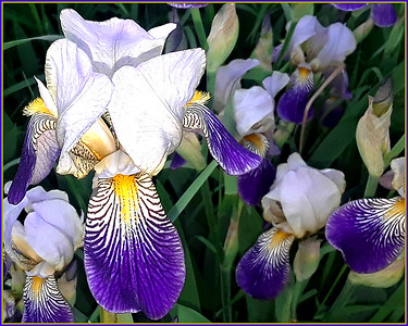 IRIS my case,,, these are across the street from us!!  19/06/19