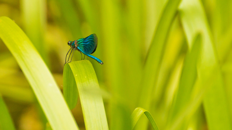 Libellule Bleue Calopteryx by Bruno SUIGNARD