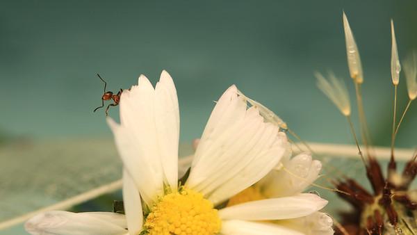 Ant, Daisy by Bruno SUIGNARD