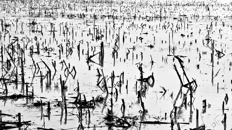 Flooded Corn Field  -  Champ de Maïs innondé