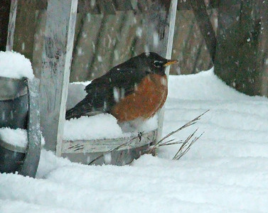 OOPS TOO EARLY, I GUESS,, 14/03/17 TOO MUCH SNOW FOR MY APPOINTMENT.   THIS ROBIN LOOKS FOR SNACKS UNDER THE PATIO TABLE. ROB FEEDS HER/HIM... REALLY EARLY FOR ROBINS THOUGH,,,